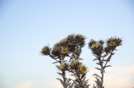 Group of dry faded thistle flowers at a bluish sky