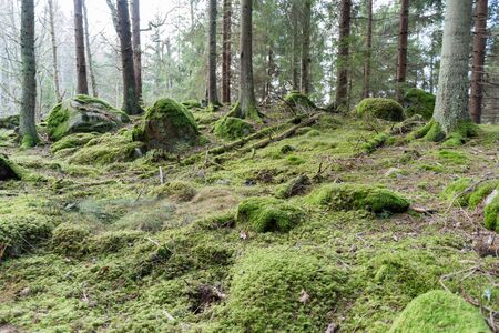 untouched: Untouched old mossy forest with rocks and tree trunks Stock Photo