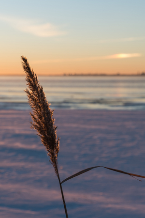 fluffy tuft: Closeup of a fluffy reed flower by sunset at winter season