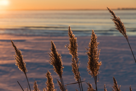 Group of fluffy reeds flowers in back light by winter sunset