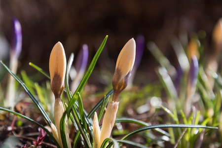 Glowing crocus buds in a sunlit flowerbed at early springtime