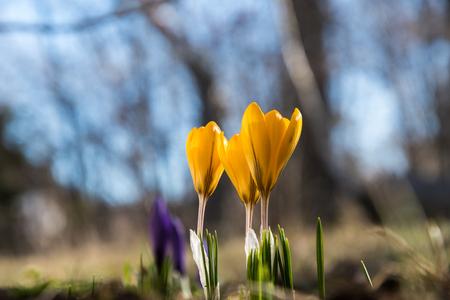 Blossom crocus flowers by early springtime Stock Photo