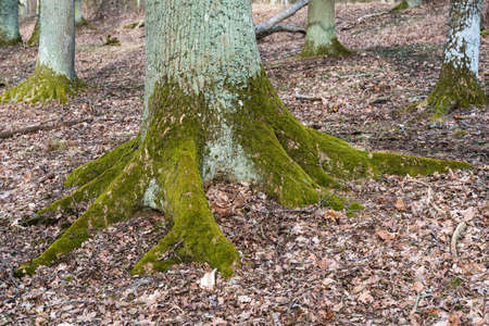 Old mossy stable rooted oak tree