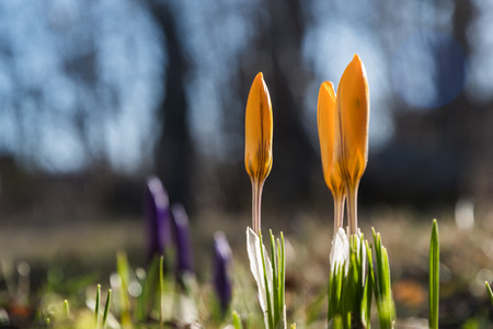 Springtime in the flower bed with glowing crocus buds