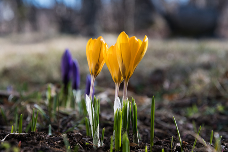 Early springtime with glowing blossom crocus in a flower bed
