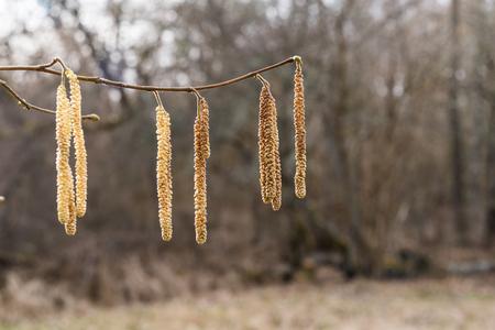 Springtime with closeup on hanging hazel catkins