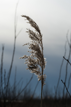 Single glowing and dry reed flower by a natural dark background Stock Photo