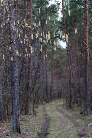 Branches with hazel catkins at springtime by a country road in the forest
