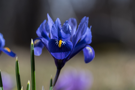 Closeup of a blue iris flower in the early springtime sunshine