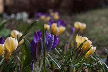 Crocus flowerbed in early springtime sunshine Stock Photo