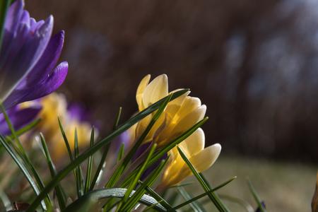 Crocus flowerbed closeup in springtime sunshine Stock Photo