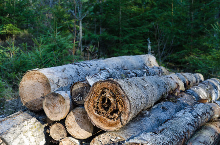 Firewood pile with root rotten timber