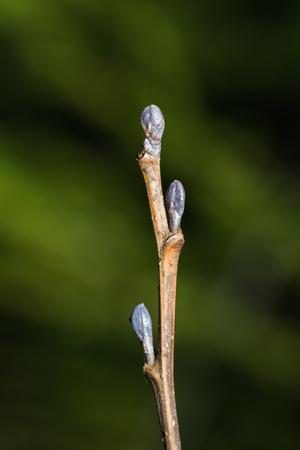 Alder tree buds on a twig at natural green background