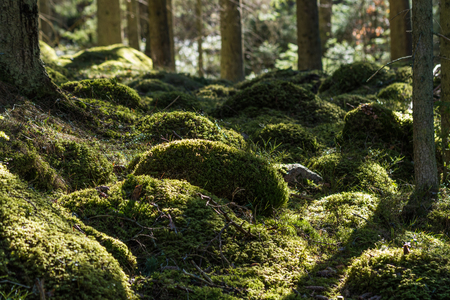 Untouched green moss grown ground in the forest Stock Photo