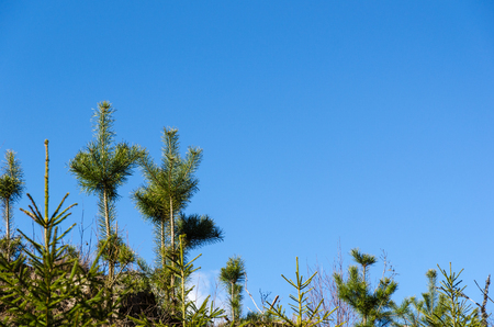Growing pine tree plants by a blue sky from low perspective