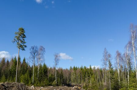 Forest landscape whth a sunny coniferous forest Stock Photo