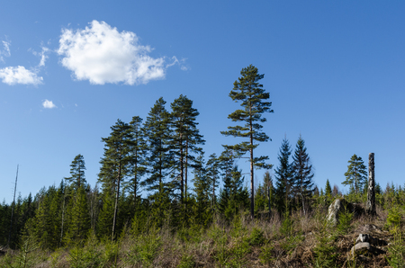 Coniferous forest landscape with new and old tree generations
