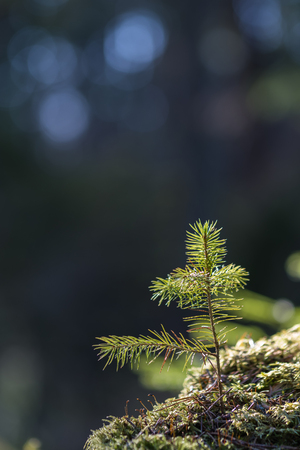 Sunlit spruce tree seedling at a mossy ground in the forest