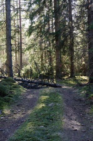 Fallen tree blocking a forest road