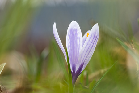 Blossom blueish crocus closeup with a soft green natural background Stock Photo