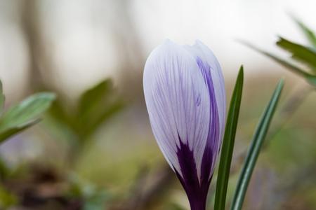 Blueish crocus flower head closeup with soft background