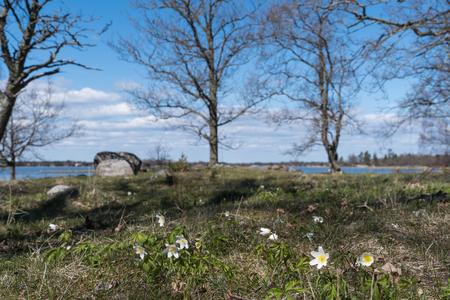 Beautiful springtime nature with blossom windflowers Stock Photo