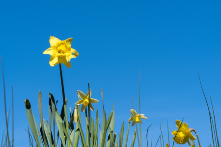 Group of blossom daffodils at a blue sky Stock Photo