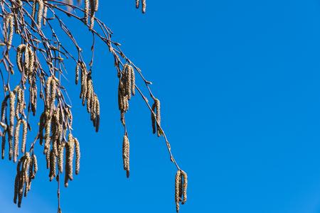 Bunch of birch tree catkins by a blue sky
