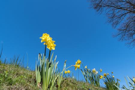 Shiny low angle daffodils at blue sky