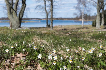 Beautiful view at blossom windflowers with trees and a lake in the background