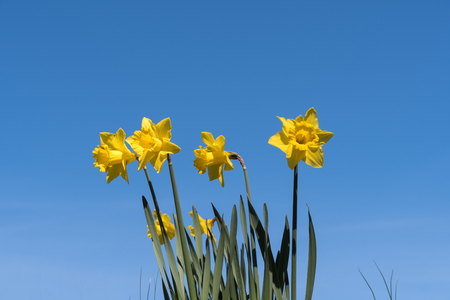 Group of blossom daffodils at a blue sky - springtime beautiful flowers Stock Photo