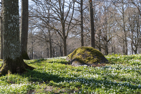 Beautiful spring forest with blossom windflowers