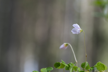 Blossom wood-sorrel flower with green leaves from low perspective