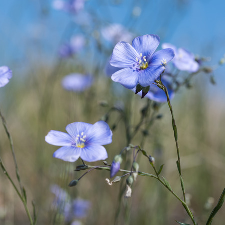 linseed: Bright sunlit blue flax flowers close up Stock Photo