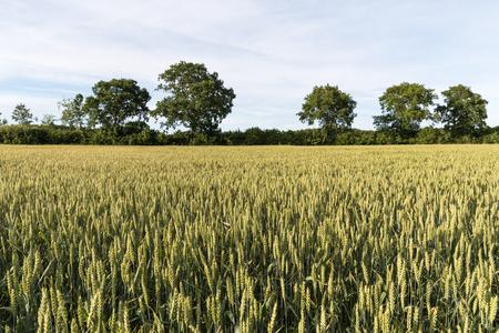 Growing wheat seed in a sunlit field with trees in the background Lizenzfreie Bilder