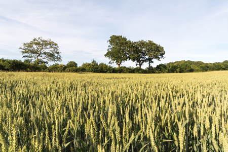 Sunlit field with growing immature wheat seed