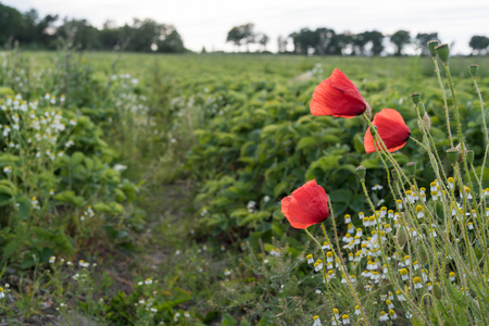 Closeup of some blossom red poppies by a farmers green field with strawberry plants