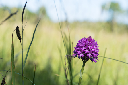 Pink summer flower, Pyramidal Orchid, closeup among green grass Stock Photo