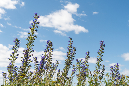 Blueweed summer flowers by a blue sky with white clouds Stock Photo