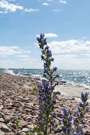 Blueweed summer flowers by a flat rock coast at the swedish island Oland