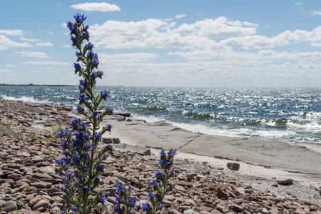 Blueweed flower by a flat rock coast at the swedish island Oland