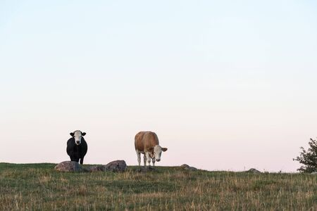Two curious cows on the top of a hill looking into the camera