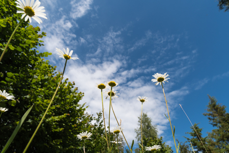 Daisies at a blue sky from low angle view with copy space