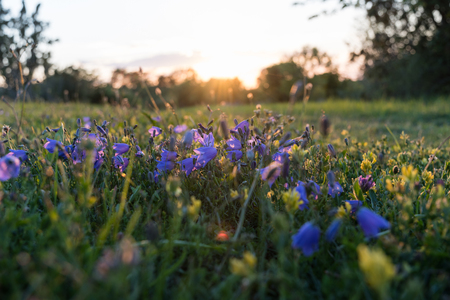Blue and yellow summer wildflowers by sunset in a low angle image