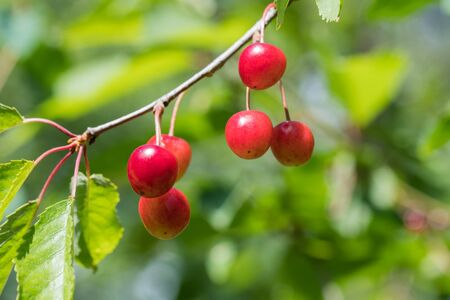 Ripe growing cherries on a twig with green leaves