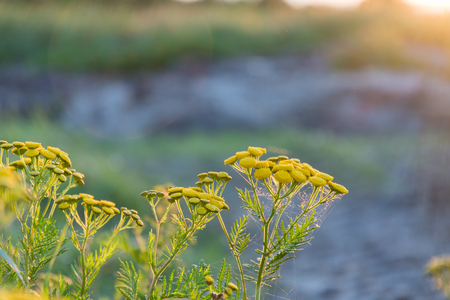 Beautiful tansy flowers close up by a summer evening light