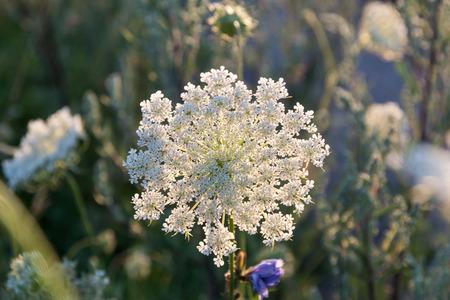 Beautiful flower pattern, backlit wild carrot flower Stock Photo