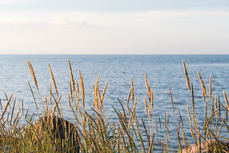 Closeup of a group sunlit grass straws by the coast