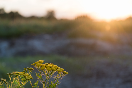Tansy flower closeup by a colorful summer sunset