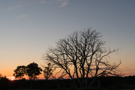 Old wide bare tree by sunset Stock Photo